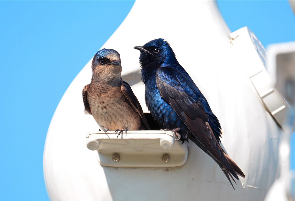 A male and female Purple Martins by Travis Bonovsky via Birdshare