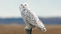 Snowy Owl by Ron Kube via Birdshare