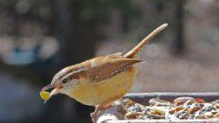 One peanut can go a long way for a Carolina Wren