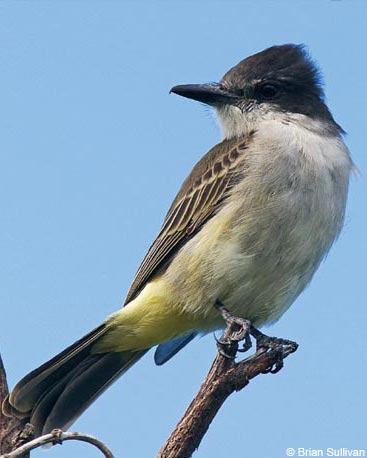 Loggerhead Kingbirds look like an Eastern Kingbird, but without the bold white tail-tip.