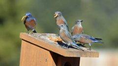 These Western Bluebirds may all look the same to us, but they all have unique voices. Photo by Pam Koch from Flagstaff, AZ.