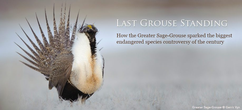 Greater Sage-Grouse by Gerrit Vyn