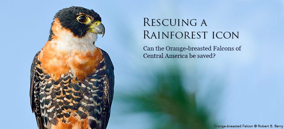 Orange-breasted Falcon by Robert B. Berry