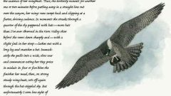 Naturalist's Notebook: Peregrine Falcon Hunts Bats