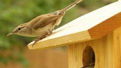 Nesting Bewick