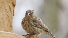 A House Finch with eye disease