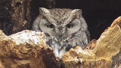 Learn to Identify the Distinctive Calls of Owls