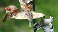 cardinal, sparrow and nuthatch at backyard bird feeder