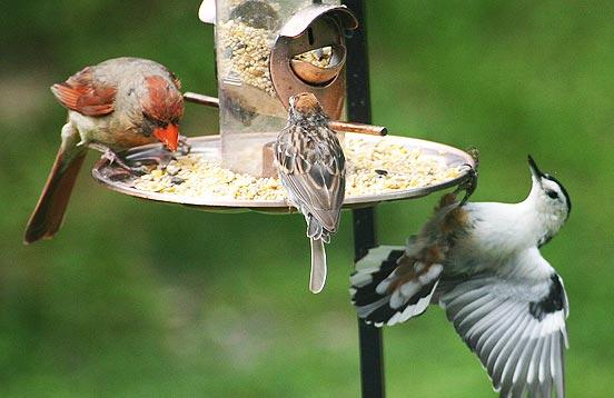 cardinal, sparrow and nuthatch at backyard bird feeder