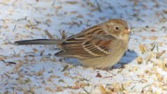 Wintering Sparrows Balance Safety of Brush Piles Against Warmth of Sun