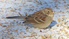 Field Sparrow by Bob Vuxinic/PFW