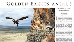 golden eagles reproduction and humans