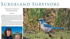 Scrubland Survivor: the Florida Scrub-Jay