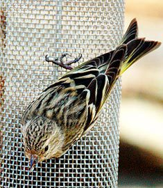pine siskin at tube feeder