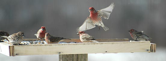 house finches at a platform feeder