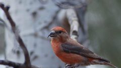 bird watching red crossbill