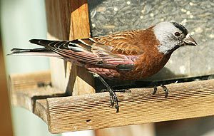 gray-crowned rosy-finch at hopper feeder