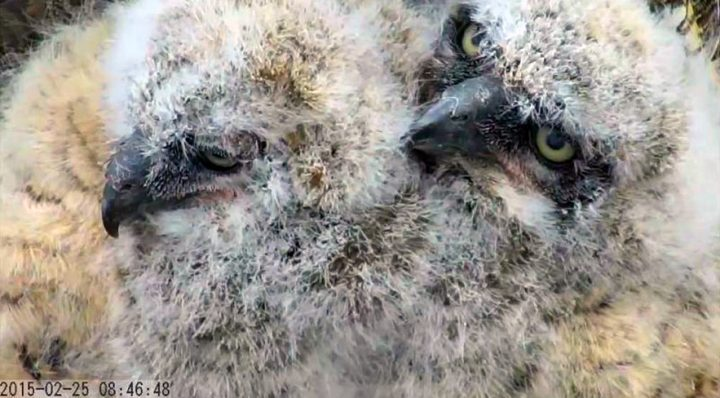Great Horned Owlets from the Savannah owl cam