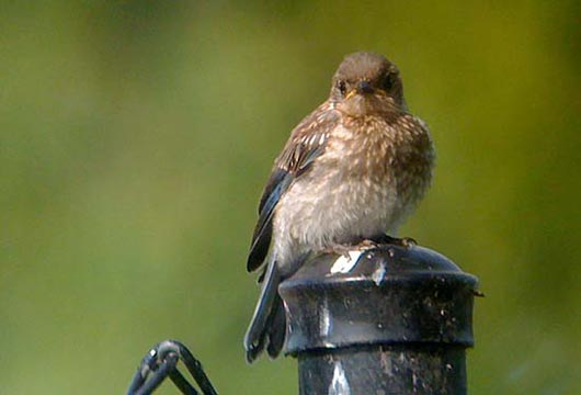 fledgling eastern bluebird phone digiscoped