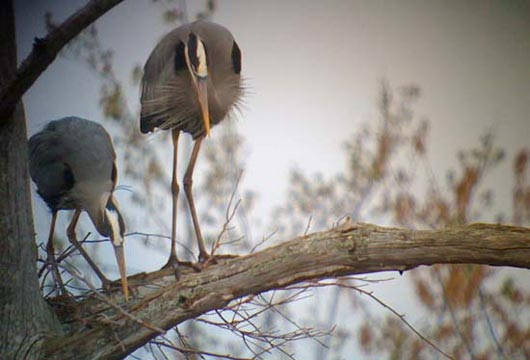 great blue herons phone digiscoped