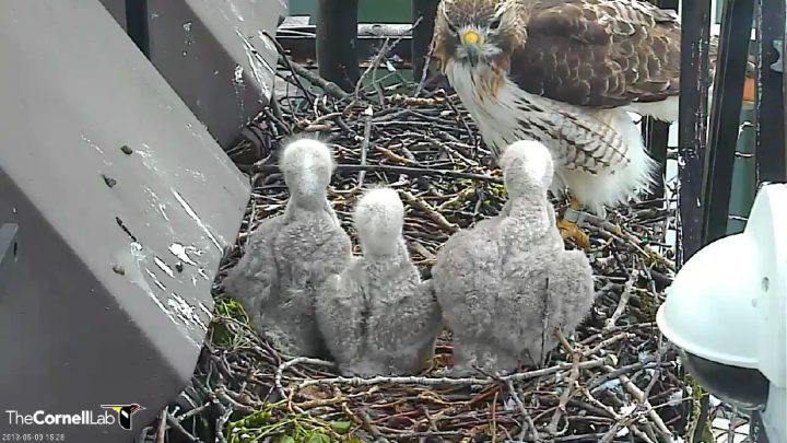 Red-tailed Hawk Cam image