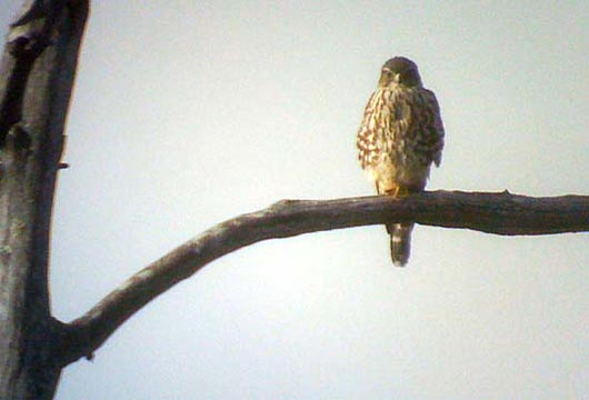 merlin phone digiscoped falcon
