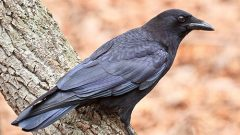 Inbreeding in the American Crow