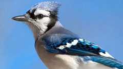 A very handsome Blue Jay. Photo by Michael Hogan via Birdshare.