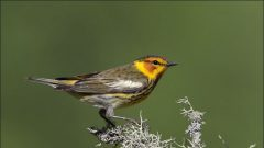 5 Tips for Spring Warbler Watching