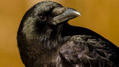 By studying American Crows researchers learned that West Nile virus became less virulent as it raced westward across North America.