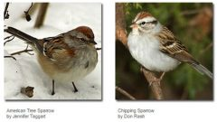 Identifying Some Common Sparrows