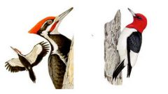 Woodpeckers With Red Heads