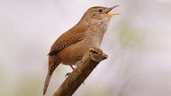 House Music: Investigating the Vocal Acrobatics of the House Wren. Photo by Cameron Rognan