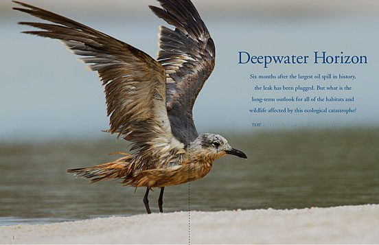 Deepwater Horizon oil spill in the Gulf of Mexico bird disaster