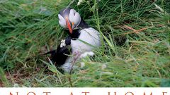 Not At Home: Stephen Kress and the Puffins of Eastern Egg Rock, Maine