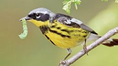 Growing Native Plants Is a Simple Recipe for Helping Warblers