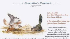 Naturalist's Notebook: Ferruginous Hawk Steals From a Roadrunner
