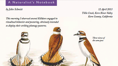 Naturalist's Notebook: Killdeer Poses