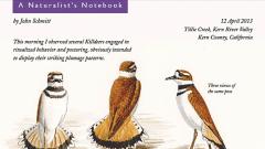 Naturalist's Notebook: Killdeer Poses