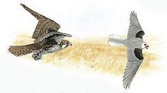 Naturalist's Notebook: Falcon vs. Kite