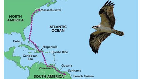 Backpacking Ospreys: Following their migration