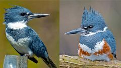 Male and female Belted Kingfishers by Brian E. Kushner