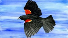 Interpreting Red-winged Blackbird Behavior, by Sophie Brown