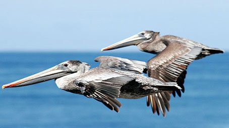 Brown Pelicans by Mike Baird via Birdshare