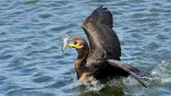Myriad Seabirds Help Track Mercury Pollution