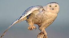 A Season of Snowy Owls