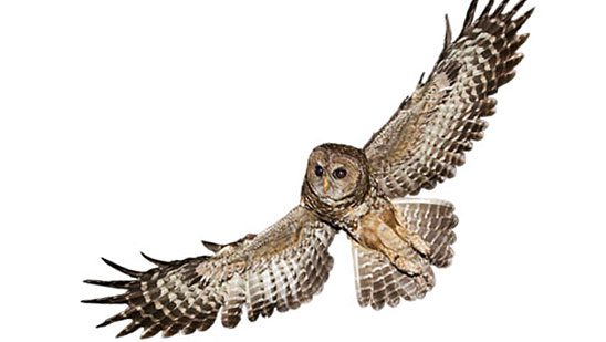 Spotted Owls can be secretive birds but autonomous recording units can help locate them.