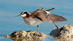 A Phalarope Ballet on California's Otherworldly Mono Lake