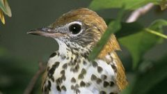 Saving the Wood Thrush: Q&A With Ron Rohrbaugh Photo by USFWS