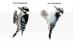 How to Tell a Downy Woodpecker From a Hairy Woodpecker